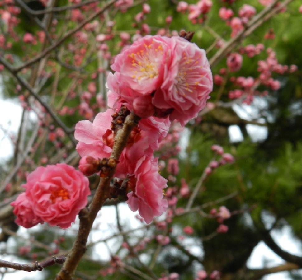 Giappone – La fioritura dei ciliegi: assistere ad un atto magico